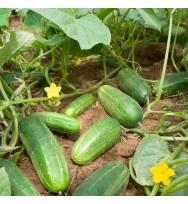 Cucumber Serum